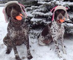 """German Shorthaired Pointers ~ Classic """"Spring Training"""" Look"""