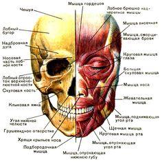 Череп и мимические мышцы [1979 Курепина М М Воккен Г Г - Анатомия человека Атлас]