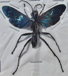 Giant Iridescent Long-leg Wasp Hymenoptera sp. Spread FAST FROM USA