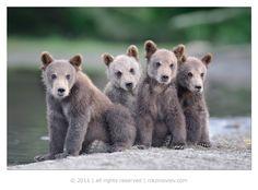 Ты наш папа? #медвежата #курильское озеро #камчатка #дикая природа #николай зиновьев Автор: Николай Зиновьев