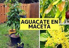 TOP 6 consejos para el cultivo de Aguacate en Maceta Potato Companion Plants, Companion Planting, Garden Pots, Herb Garden, Vegetable Garden, Gemüseanbau In Kübeln, Container Gardening Vegetables, Flower Planters, Gardening For Beginners