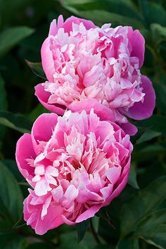 30930 | Paeonia 'kelways lovely www.clivenichols.com | By: Clive Nichols | Flickr - Photo Sharing!
