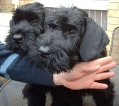 Giant Schnauzer puppies - OH I LOVE THE BIG ONES TOO!