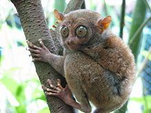 Tarsiers are small animals with enormous eyes; each eyeball is approximately 16 mm in diameter and is as large as its entire brain