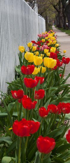 I want a yard full of tulips