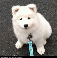 Sweet Samoyed Puppy • APlaceToLoveDogs.com • dog dogs puppy puppies cute doggy doggies adorable funny fun silly photography