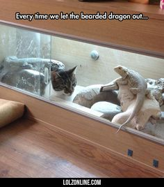 Every Time We Let The Bearded Dragon Outside#funny #lol #lolzonline