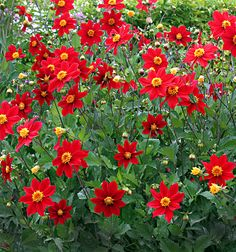 Dahlia coccinea 'True Wild Form' blooms from June to first frost Perennial Grasses, Perennials, Bright Flowers, Red Flowers, Deer Resistant Flowers, Mexican Flowers, Romantic Flowers, Garden Pictures, Edible Garden