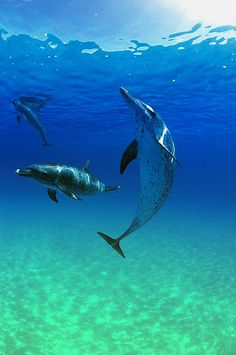 Atlantic Spotted Dolphins in the Bahamas; photo by .Carson Ganci