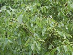 Ořechy na ořechovku natrhejte v ideálním případě ze stromu, který se nachází mimo místa s automobilovým provozem.