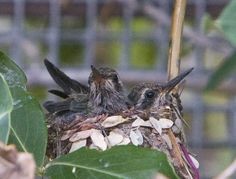 Broadbilled Hummingbird chicksovergrown nestlings | Endless Wildlife