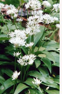 Ramsons - Allium ursinum. The entire plant is edible and the bulb can be used as a garlic substitute (if you can get seed and you have a shady spot in your garden this is an excellent plant to grow). However, the plan't true glory is it's leaves which can be used raw in a salad. They are also excellent when finely shredded and mixed into an omelette. They can also be boiled and made into a kind of pesto-like pâté.