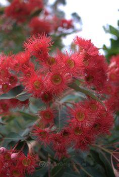 Eucalyptus 'Dwarf Red' Grafted