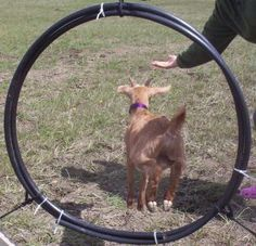 Teaching Goats Tricks. For fun and games this summer.