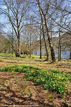 William Wordsworth's daffodils, Glencoyne Bay, Ullswater, Lake District, Cumbria, England, UK