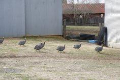 Guinea hens dart across the barnyard.