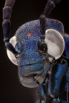 ˚Blue blister beetle (Meloidae)