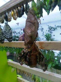 Twitter / Phi_Ledger: An emerging Atlas moth ...