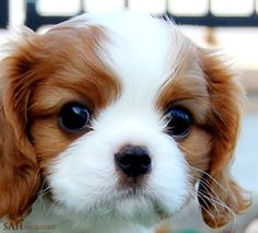 Cavalier King Charles Spaniel . beautiful face