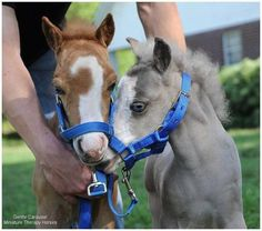 These two baby Miniature Horses are so tiny, their harnesses look too big! <3
