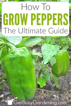 Growing peppers (capsicum) is pretty easy. The plants perform equally well in pots and containers, or in the garden. You can even grow them indoors over winter. Learn all you need to know about how to care for peppers in thi Growing Capsicum, Growing Green Peppers, Growing Greens, Growing Veggies, Growing Cabbage, Growing Plants, Organic Liquid Fertilizer, Tomato Fertilizer, Bell Pepper Plant