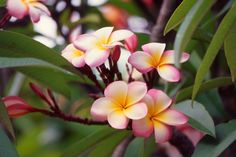 Frangipani | Frangipanis can flower from December to April, and thrive in well-drained soil, plenty of sun and frost-free conditions. They love growing by the beach in sandy soils and are one of the best trees for tolerating salty air along the coast.