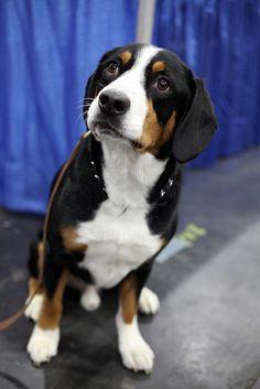 Entlebucher Sennenhund - Swissy Cousin. Sweet face <3