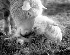 Image result for sheep photography