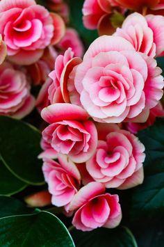 Vivid Blushing Beauties (By Wing Yau Au Yeong)