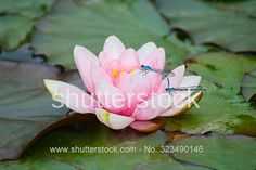 Two dragonflies on a waterlily.