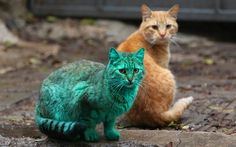 The green cat, which was spotted on the streets of Varna, Bulgaria. The cat caused a certain amount of uproar in the Black Sea resort town because of the assumption that it was painted green by a vandal, but in fact this is reportedly because it usually sleeps on an abandoned heap of synthetic green paint in a garage.