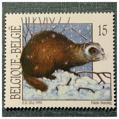 Belgie: Mustela putorius putorius, Putois-bunzing - (Doninha-fedorenta) 1992