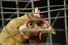 Just days after Chinese authorities confirmed the presence of a new strain of avian influenza – H7N9 – it has now been reported there has been a total of 14 cases of the new flu, with six cases of these fatal after the deadly bird flu claimed the life of a 64-year-old farmer from Zhejiang province.
