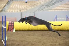 NEVER SAY NEVER GREYHOUNDS: NDTC Trial - Maddie Grey Hound Dog, Italian Greyhound, Greyhounds, Very Well, Trials, Running, Dogs, Whippets, Third