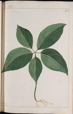 272708 Aralia sp.  / Witsen, N., Jager, H. de, Plantae Javanicae pictae, ex Java transmissae anno MDCC, t. 48 (1700)