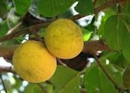 Santol (Sandoricum koeyjspe) is s tropical fruit native to southeast Asia aka wild mangosteen Colorful Fruit, Exotic Fruit, Tropical Fruits, Fruit Trees, Permaculture, Pear, Mango, Lime, Southeast Asia