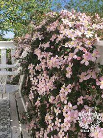 Clematis Montana Rubens, Planters, Summer, Plant, Window Boxes, Pot Holders, Flower Planters, Pots