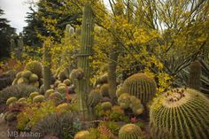 Huntington in May. Dyckia, golden barrel cactus, with palo verdes in bloom