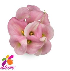 Perle Rose Mini Calla Lilies are sophisticated dusky pink flowers. The elegant sleek shape of the Calla will allow you to design a simple, yet magnificent, high-end contemporary design. Graceful and sweet, our pink Callas will enchant at a birthday party, ladies tea or vintage wedding.   Features:  ✔ 10 Stems Minicallas 35cm - 40cm ✔ Box contains: 8 Bunches 10 stems #Minicallas #Pink #Perle #Rose #Costco #Samsclub #EbloomsDirect Calla Lily Flowers, Pink Flowers, Calla Lilies, Types Of Flowers, Fresh Flowers, Classic Romantic Wedding, Birthday Parties, Stems, Contemporary Design