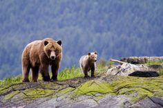 Canadian Rocky grizzly bears