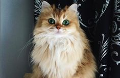 Smoothie the cat has striking green eyes and a beautiful coat of fur. She's been deemed the most beautiful cat on the internet.