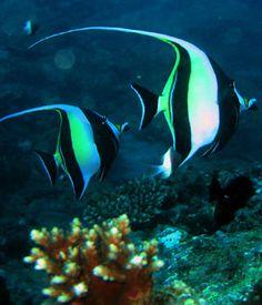 Resultados de la Búsqueda de imágenes de Google de http://peces.anipedia.net/images/taxonomia-peces.jpg