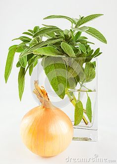 A close up of fresh sage in a vase and an onion