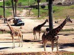 6 San Diego Zoo Safari Park Tips That Will Make Your Visit Even Better www.reservesandie - Travel San Diego - Ideas of Travel San Diego San Diego Attractions, Visit San Diego, San Diego Zoo, San Francisco Festivals, San Diego Nightlife, Disneyland Paris Rides, Monument Colorado, Safari, Travel