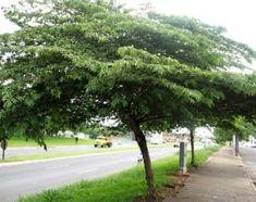 Calabura – Muntingia calabura – Árvore ornamental por seus ramos delicados e arqueados.