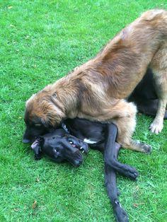 Leonberger met Deense dog