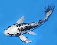 rare ghost koi 1 Whale, Koi Fish Pond, Animals, Whales, Animales, Animaux, Animal, Animais