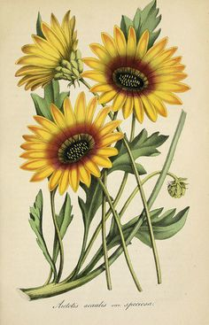 Cape Daisy. A 2 foot tall, fast growing annual with large orange-yellow sunflower-like blooms in spring and early summer. Deutsches Magazin für Garten- und Blumenkunde; Stuggart, G. Weise. (1856) | From the botanical illustration collection of Swallowtail Garden Seeds. This image is in the public domain. Right click to download. Use as you choose.