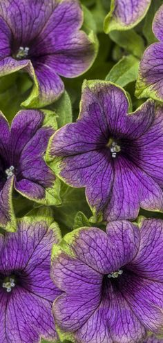Here's a new addition to our ever-popular Picasso series. NEW this spring is Supertunia Picasso in Purple. Dark purple blooms with a cerise green edge. Striking! We see some serious container combos in your future!