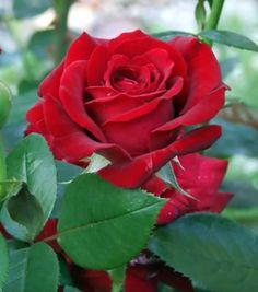 Red Rose... Beautiful SLVH ❤❤